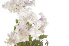 Flower of streptocarpus over white background Royalty Free Stock Photography