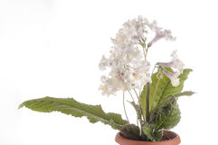 Flower of streptocarpus over white background Stock Images