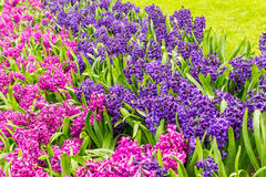 Flower strips of hyacinth in the park at Keukenhof. Flower strips of hyacinth and grass from the garden of Europe, near Amsterdam royalty free stock photos