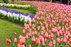 Flower strips of hyacinth and tulips in the park at Keukenhof. Flower strips of hyacinth and tulips from the garden of Europe, near Amsterdam royalty free stock image