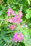 Flower stump. Flowering Lagerstroemia floribunda flowers in patches Stock Photos