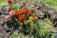 Flower stump royalty free stock photography
