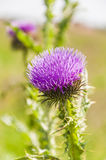 Flower of the subfamily Carduoideae Royalty Free Stock Photo