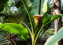 Flower on subtropical banana plant.  Stock Photography
