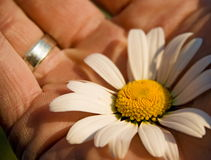 Flower success in hand. Concept of success, flower daisy in palm of hand in detail, shallow depth of view Stock Photos