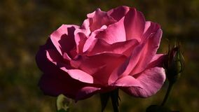 Flower. Such a nice rose at sunset time Royalty Free Stock Photography