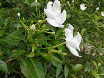 Pure white flowers in Sri Lanka Stock Photo