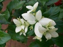 Beautiful flowers in Sri Lanka Stock Image