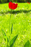 Flower in summer garden. Red flower in a summer garden on a green lawn Stock Photo