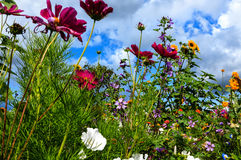 Sunny flower meadow. Flower summer meadow with colorful wild flowers Stock Images