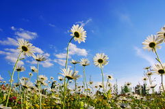 Flower in summer under blue sky royalty free stock photography