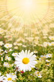 Flower and sun. In summer on a field stock photography