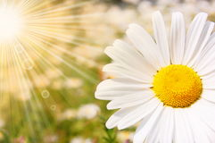 Flower and sun. In summer on a field royalty free stock photos