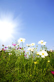 The flower of the sun Stock Images