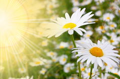 Flower and sun. In summer on a field stock photo
