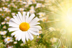 Flower and sun Royalty Free Stock Photos