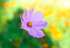Flower with sun beam. On bokeh background royalty free stock images