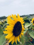 Flower. Sun flower best click garden stock photos