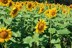 Flower of the Sun, Helianthus. Royalty Free Stock Photos