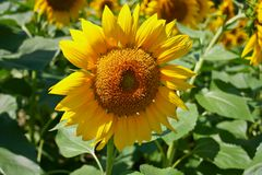 Flower of the Sun, Helianthus Royalty Free Stock Image