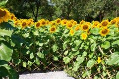 Flower of the Sun, Helianthus. Stock Photos