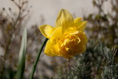 Flower in the sun at spring. A Tulip flower in the sun at spring i danmark stock images