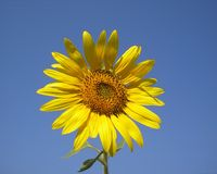 The flower of the sun is sunflower. Bright yellow sunflower against the sky. Ukraine Royalty Free Stock Image