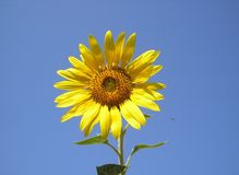 The flower of the sun is sunflower. Bright yellow sunflower against the sky. Ukraine Stock Images