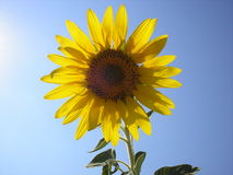 The flower of the sun is sunflower. Bright yellow sunflower against the sky. Ukraine Stock Image