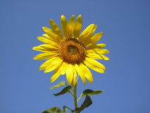 The flower of the sun is sunflower. Bright yellow sunflower against the sky. Stock Photography