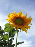 Flower sun in thailand. Sun flower in ratchaburi thailand Stock Image