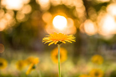 Flower and sun. A warm sunny sky with a yellow gerbera flower and sun in the evening stock photo