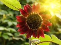 Flower sunflower stock images
