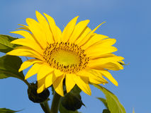The Flower of sunflower Stock Photos