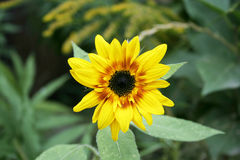 Flower sunflower. Yellow flower on a green background, bright colored flower, beautiful flowering plant, growing in the flowerbed royalty free stock photos