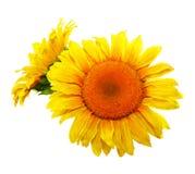 Flower sunflower Stock Photos