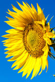 Flower of sunflower against a blue sky Stock Photos