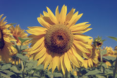 Flower of sunflower against a blue sky Stock Photography