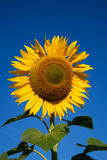 Flower sunflower on the background of blue sky. Royalty Free Stock Images