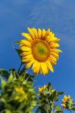 Flower sunflower on a background of blue sky. Close-up Royalty Free Stock Photos