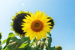 Flower of sunflower and black Stock Images