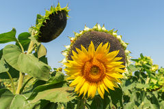 Flower of sunflower and black with seeds Royalty Free Stock Photography