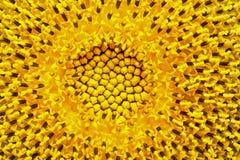 Flower of sunflower Stock Image