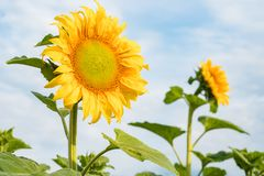 A flower of a sunflower blossoms on a field of sunflowers on a s. Unny day, natural background stock image