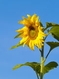 The Flower of sunflower and blue sky Royalty Free Stock Photography