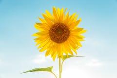 Flower of sunflower in blue sky background Stock Image