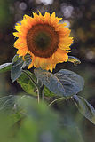 Flower of sunflower Royalty Free Stock Images