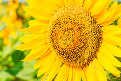 Flower of sunflower. Close-up on a background field of sunflowers Royalty Free Stock Image