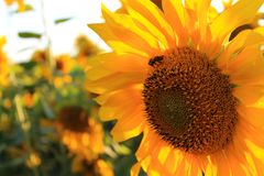 Flower of sunflower close-up with a bee Royalty Free Stock Photos