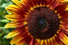 Flower, Sunflower, Close Up, Flora Royalty Free Stock Photography